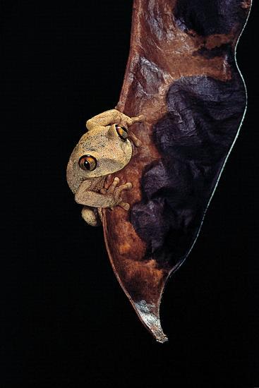Leptopelis Sp. (Forest Treefrog )-Paul Starosta-Photographic Print