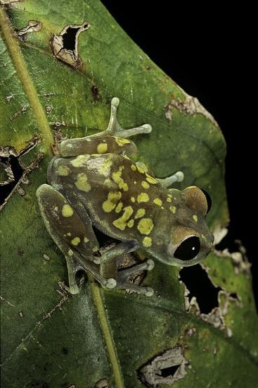 Leptopelis Uluguruensis (Uluguru Forest Treefrog)-Paul Starosta-Photographic Print