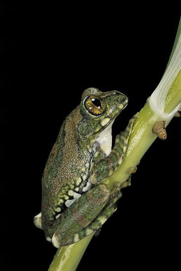 Leptopelis Vermiculatus (Amani Forest Treefrog, Big-Eyed Treefrog)-Paul Starosta-Photographic Print