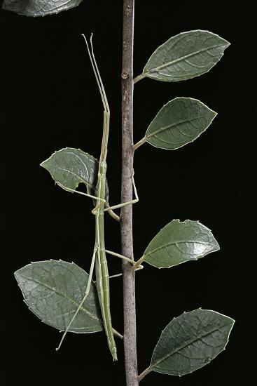 Leptynia Hispanica (Spanish Stick Insect)-Paul Starosta-Photographic Print