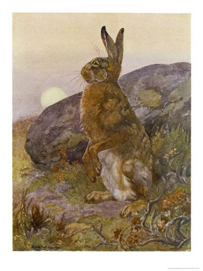 Lepus Europaeus a Hare Sits up on Its Back Legs-Winifred Austen-Giclee Print