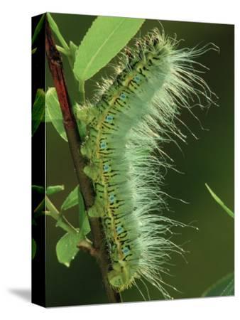Atlas Moth Larva or Caterpillar (Dictyoploca Simla), Family Saturniidae, India