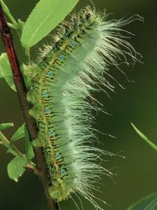 Atlas Moth Larva or Caterpillar (Dictyoploca Simla), Family Saturniidae, India by Leroy Simon