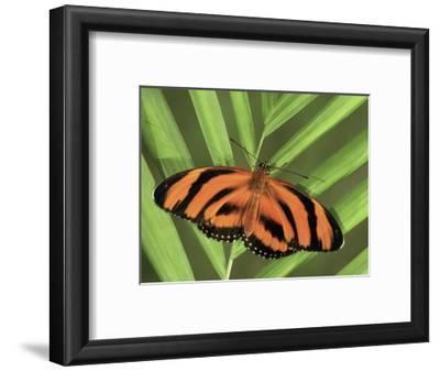 Banded Orange Heliconian Butterfly (Dryadula Phaetusa), Family Heliconiidae