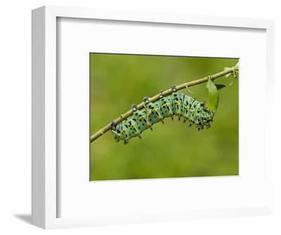 Calleta Silkmoth Last Instar Caterpillar Eating a Leaf (Eupackardia Calleta). Texas, USA