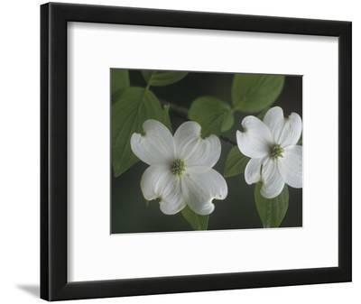 Dogwood Flowers (Cornus Florida), North America