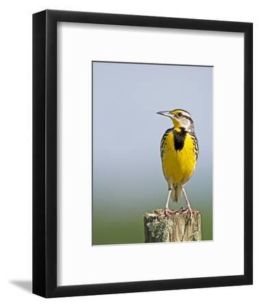 Eastern Meadowlark (Sturnella Magna), Florida, USA