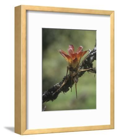 Epiphytic Bromeliad Growing on a Tropical Rainforest Tree, Ecuador, South America