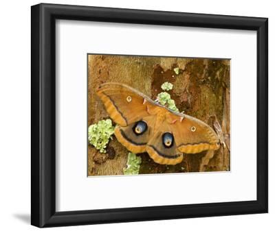 Female Polyphemus Moth (Antheraea Polyphemus), Florida, USA