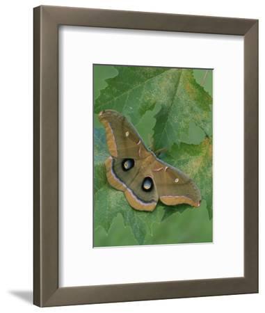 Polyphemus Moth (Antheraea Polyphemus), Saturniidae, Florida