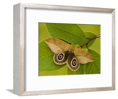 Saturnid Moth Adult Male Showing its Eyespots on its Wings (Leucanella Lynx). Ecuador