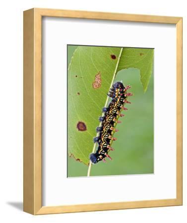 Saturnid Moth Caterpillar (Antherina Suraka) Feeding on a Leaf