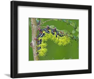 Silkmoth Caterpillar, Fifth Instar (Automeris Zephyria), Arizona, USA