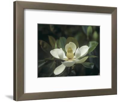 Southern Magnolia Flower (Magnolia Grandiflora), Southern North America