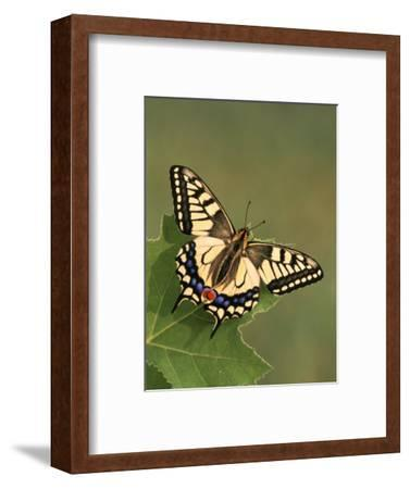 Swallowtail Butterfly (Papilio Machaon), Japan