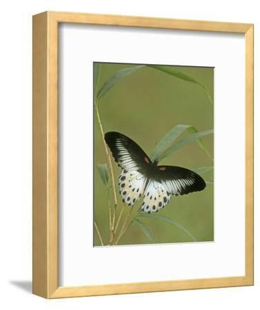 Swallowtail Butterfly (Papilio Polymnestor), India
