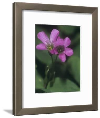 Violet Wood Sorrel Flowers (Oxalis Violacea), Eastern North America