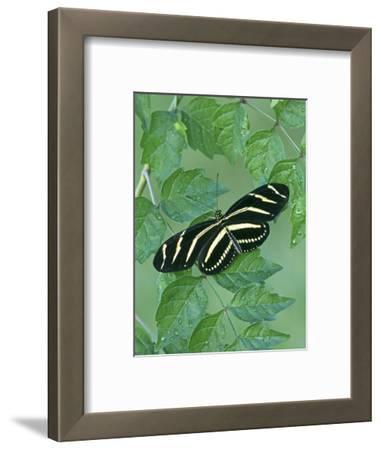 Zebra Longwing Heliconian Butterfly (Heliconius Charitonius), Family Nymphalidae, Florida, USA