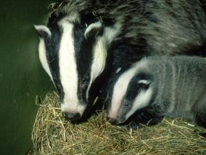 Badger, and Cub, England by Les Stocker
