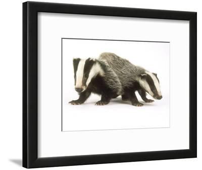 Badgers, Juveniles