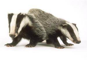 Badgers, Juveniles by Les Stocker