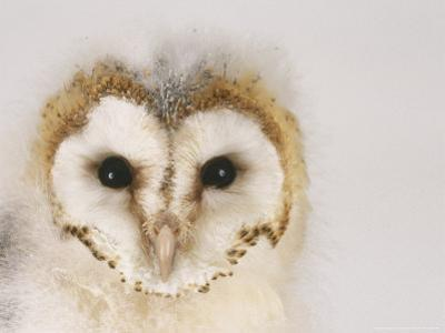 Barn Owl, Portrait of Face by Les Stocker