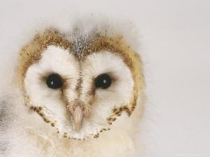 Barn Owl, Portrait of Face by Les Stocker