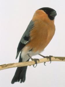 Bullfinch, UK by Les Stocker