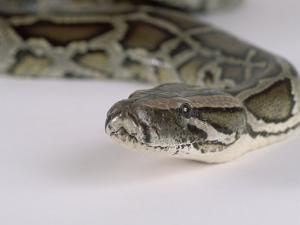 Burmese Python, Python Molurus Bivittatus by Les Stocker