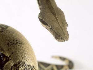 Common Boa, Boa Constrictor Imperator by Les Stocker