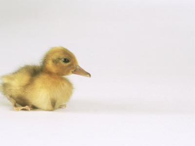 Domestic Duck, Duckling by Les Stocker