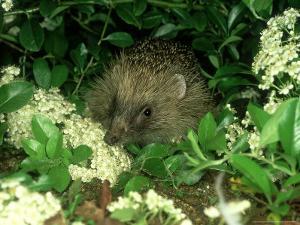European Hedgehog, England by Les Stocker