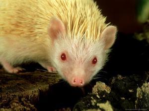 Four-Toed Hedgehog, Albino, England by Les Stocker