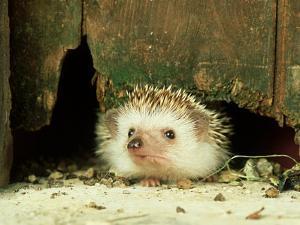 Four-Toed Hedgehog, England, UK by Les Stocker