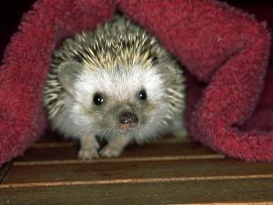 Four-Toed Hedgehog, England by Les Stocker
