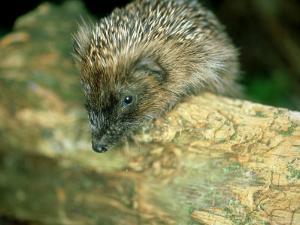 Hedgehog, Aylesbury, UK by Les Stocker