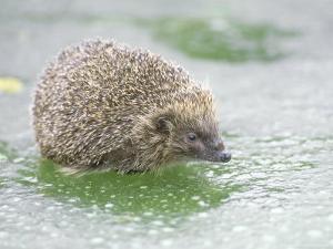Hedgehog, UK by Les Stocker