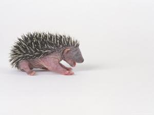 Hedgehog Young 3-4 Days Old, Erinaceus Europaeus by Les Stocker
