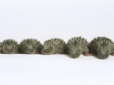 Hedgehogs, Young
