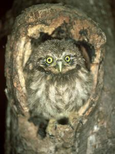 Little Owl, Juvenile, England by Les Stocker