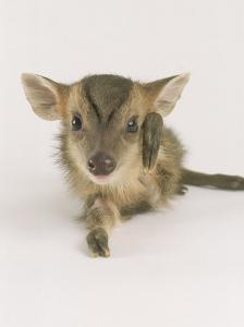 Muntjac Fawn, 1-2 Days Old, Lifting Leg by Les Stocker