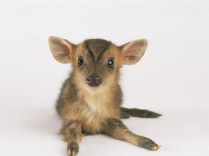 Muntjac Fawn, 1-2 Days Old by Les Stocker