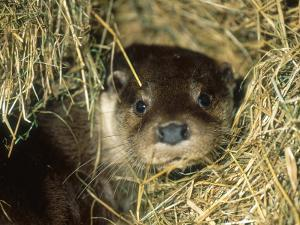 Otter in Straw, Aylesbury, UK by Les Stocker