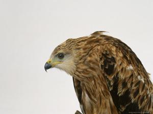 Red Kite by Les Stocker