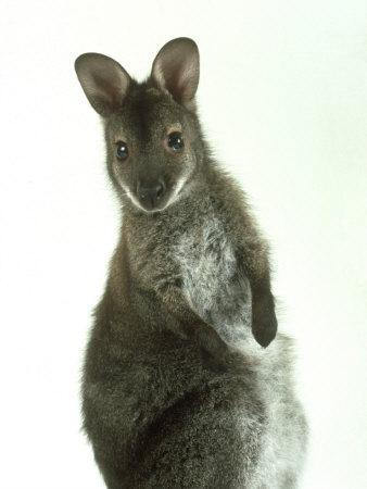 Red Necked Wallaby, Young, England, UK