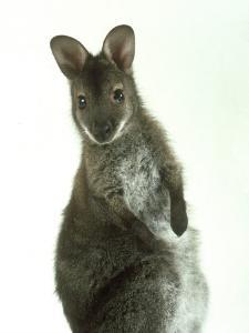 Red Necked Wallaby, Young, England, UK by Les Stocker