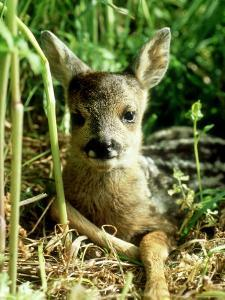 Roe Deer, Young, UK by Les Stocker