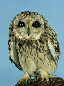 Short-Eared Owl, England, UK by Les Stocker