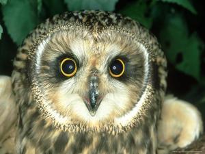 Short-Eared Owl, England by Les Stocker