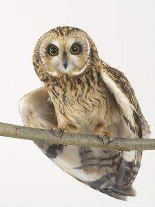 Short-Eared Owl, St. Tiggywinkles Wildlife Hospital, UK by Les Stocker